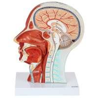 Axis Scientific Human Head Model
