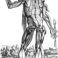 Vesalius Muscles System Poster Print