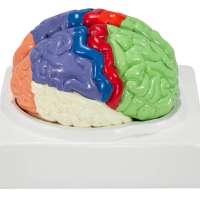 Axis Scientific Human Brain Model
